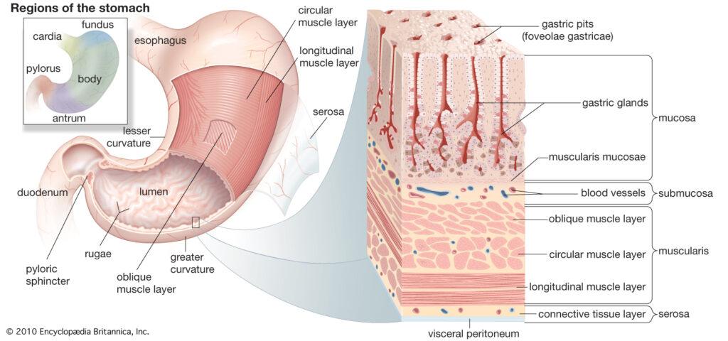 травна система людини